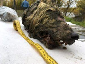 Απίστευτο! Βρέθηκε κεφάλι τεράστιου προϊστορικού λύκου ηλικίας 40.000 ετών στη Σιβηρία – Video