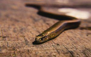 «Παραξενόφις» και «Περιεργόφις»: Δύο προϊστορικά φίδια που εντοπίστηκαν μόνο στην Ελλάδα