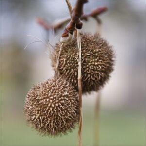 Πλατανόμηλα  - Ένα ευεργετικό βότανο